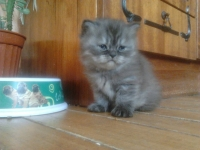 Персийско коте