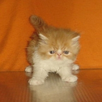Червено-бели и кремаво персийски котенца.