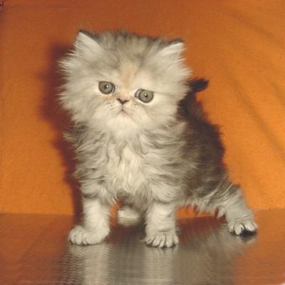 Сиво персийско коте