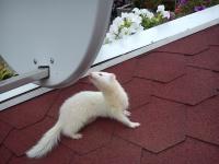 Fretka albinos