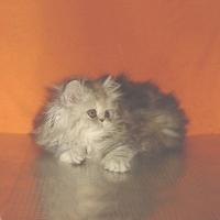 Персийски котенца - негърчета