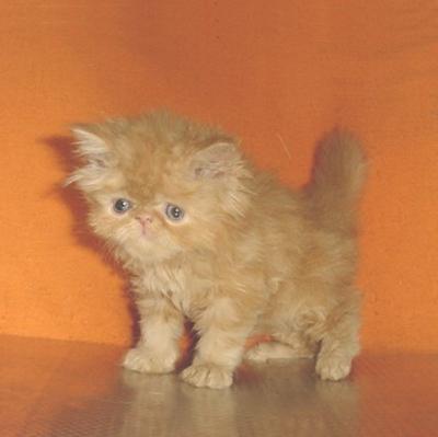 Персийски котенца - рижковците
