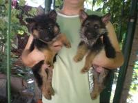 Продавам немски овчарки