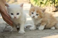 Продавам ПУХКАВИ БЯЛО и РИЖАВО женски котета