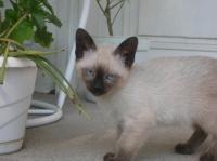 Сиамски котенца