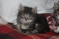 Дългокосмести норвежки горски котета.