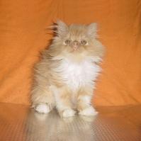 Персийски котенца - черен и червен биколор