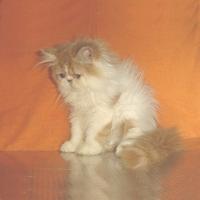 Персийски котенца - бяло-червени