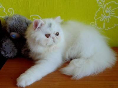 Персийски котета Show Quality Persian