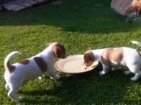 очарователни мъжки и женски кученца за осиновя