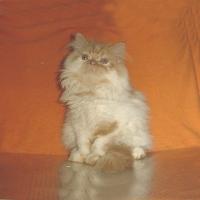 Персийскo котенцe - бяло-червено