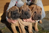 Precious Pei Kennel Bulgaria