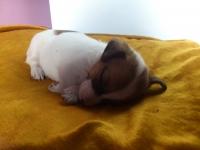 Джак Ръсел Териер (jack Russell Terrier)