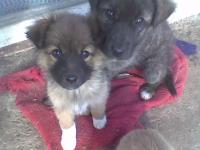 Подарявам 3 женски кученца от каракачанка.