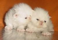 Бели персийски котенца