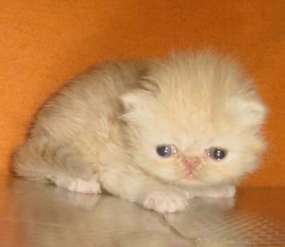 Персийски котенца – малки сме но, бързо растем