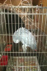 Говорещ папагал Жако