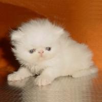 Бяло персийско котенце