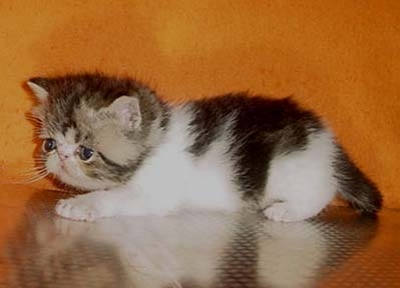 Екзотични персийски котенца