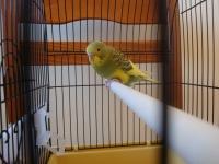 Вълнист папапагал с клетка