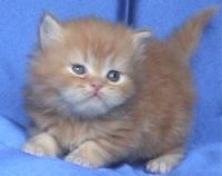 Персийско класическо котенце