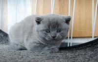 Продавам британска късокосместа синя котка