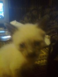 сиамски котета
