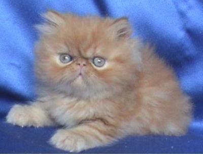 Екстремално персийско мъжко котенце