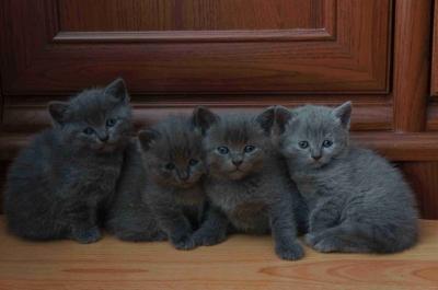 Руски сини котенца