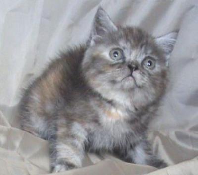 Костенурково шотландско коте