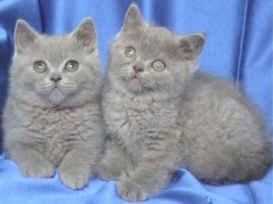 Британски лилави котета от лицензиран развъдни