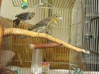 канарче