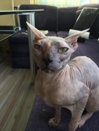 Коте сфинкс