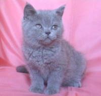 Развъдник за Британска късокосместа котка