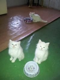 Бели ангорски котета
