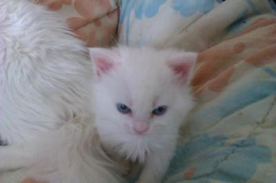 Турски Ангорски котки