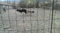 Гигантски Кавкаски Овчарки : 0878627222