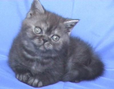Персийско късокосместо котенце