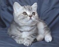 Късокосместо сребристо персийско коте