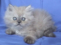 Персийско котенце колорпойнт със сини очи