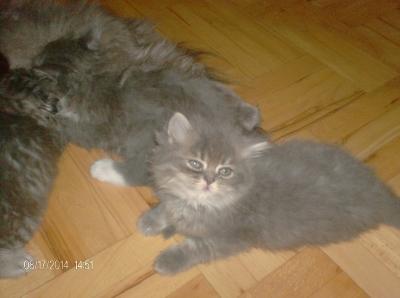 продавам персииски котета
