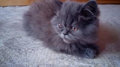 Продавам персийско коте