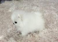 Померан кученца