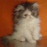 Персийски котенца - малки сме, но бързо растем