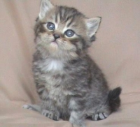 Персийски късокосмести котета