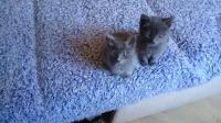 даваме 2 котета на по 45 дена