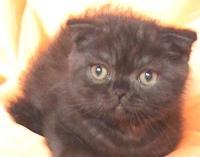 Шотландско шоколадово мъжко котенце
