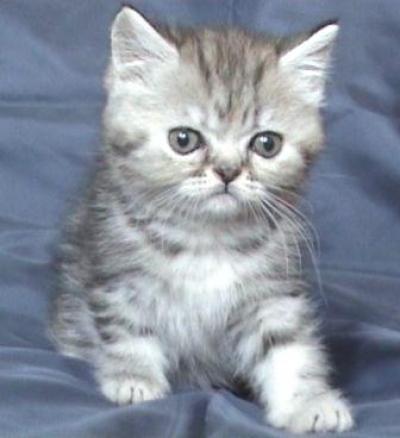 Сребристо късокосместо женско котенце