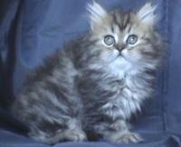 Персийско дългокосместо женско котенце