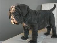 Неаполитански Мастиф кученца за продажба